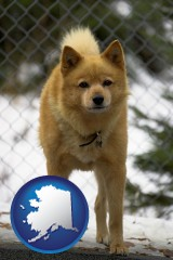 alaska a Finnish Spitz dog in a kennel, with a blurred chain-link fence