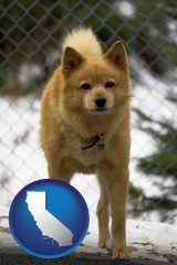 california a Finnish Spitz dog in a kennel, with a blurred chain-link fence