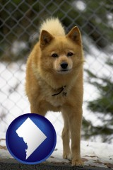 washington-dc map icon and a Finnish Spitz dog in a kennel, with a blurred chain-link fence