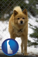 delaware a Finnish Spitz dog in a kennel, with a blurred chain-link fence