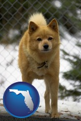florida a Finnish Spitz dog in a kennel, with a blurred chain-link fence