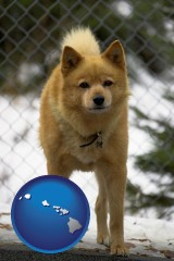 hawaii a Finnish Spitz dog in a kennel, with a blurred chain-link fence