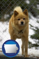 iowa map icon and a Finnish Spitz dog in a kennel, with a blurred chain-link fence