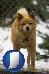 indiana a Finnish Spitz dog in a kennel, with a blurred chain-link fence