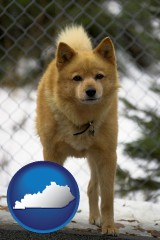 kentucky a Finnish Spitz dog in a kennel, with a blurred chain-link fence