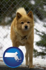 massachusetts map icon and a Finnish Spitz dog in a kennel, with a blurred chain-link fence