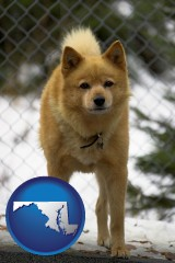 maryland map icon and a Finnish Spitz dog in a kennel, with a blurred chain-link fence