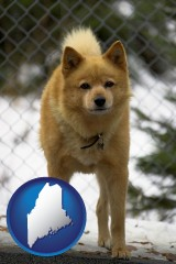 maine map icon and a Finnish Spitz dog in a kennel, with a blurred chain-link fence