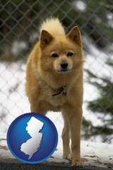 new-jersey a Finnish Spitz dog in a kennel, with a blurred chain-link fence