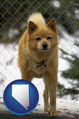 nevada a Finnish Spitz dog in a kennel, with a blurred chain-link fence