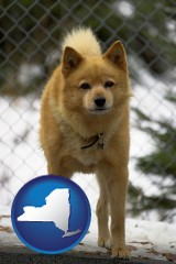 new-york map icon and a Finnish Spitz dog in a kennel, with a blurred chain-link fence