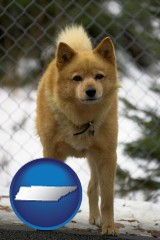 tennessee a Finnish Spitz dog in a kennel, with a blurred chain-link fence