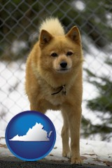 virginia a Finnish Spitz dog in a kennel, with a blurred chain-link fence