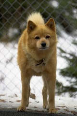 a Finnish Spitz dog in a kennel, with a blurred chain-link fence