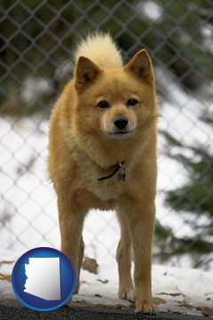 a Finnish Spitz dog in a kennel, with a blurred chain-link fence - with Arizona icon