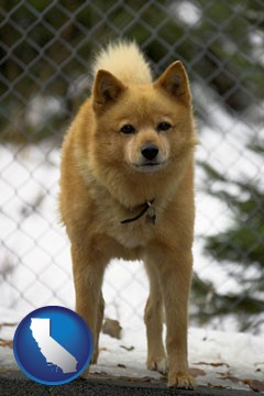 a Finnish Spitz dog in a kennel, with a blurred chain-link fence - with California icon