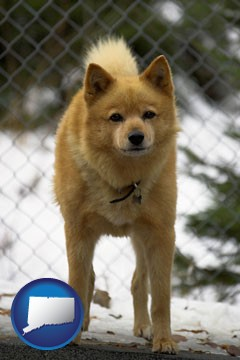 a Finnish Spitz dog in a kennel, with a blurred chain-link fence - with Connecticut icon