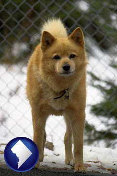 a Finnish Spitz dog in a kennel, with a blurred chain-link fence - with Washington, DC icon