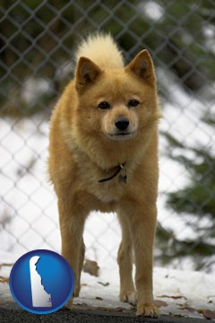 a Finnish Spitz dog in a kennel, with a blurred chain-link fence - with Delaware icon