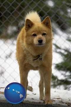 a Finnish Spitz dog in a kennel, with a blurred chain-link fence - with Hawaii icon