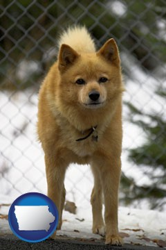 a Finnish Spitz dog in a kennel, with a blurred chain-link fence - with Iowa icon