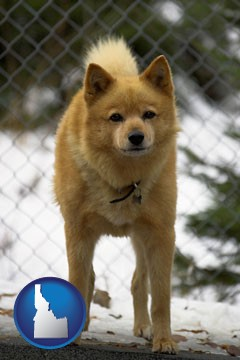 a Finnish Spitz dog in a kennel, with a blurred chain-link fence - with Idaho icon