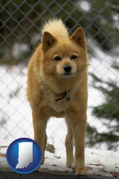a Finnish Spitz dog in a kennel, with a blurred chain-link fence - with Indiana icon