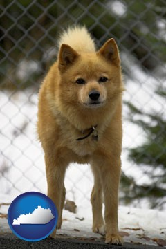 a Finnish Spitz dog in a kennel, with a blurred chain-link fence - with Kentucky icon