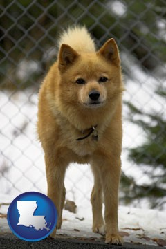 a Finnish Spitz dog in a kennel, with a blurred chain-link fence - with Louisiana icon
