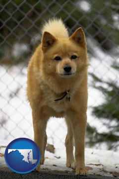 a Finnish Spitz dog in a kennel, with a blurred chain-link fence - with Maryland icon