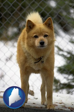 a Finnish Spitz dog in a kennel, with a blurred chain-link fence - with Maine icon