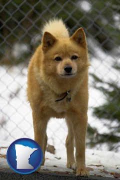 a Finnish Spitz dog in a kennel, with a blurred chain-link fence - with Minnesota icon