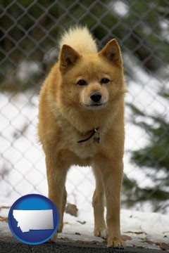 a Finnish Spitz dog in a kennel, with a blurred chain-link fence - with Montana icon