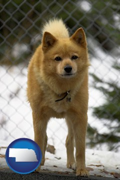 a Finnish Spitz dog in a kennel, with a blurred chain-link fence - with Nebraska icon