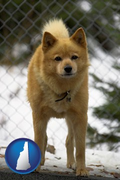 a Finnish Spitz dog in a kennel, with a blurred chain-link fence - with New Hampshire icon