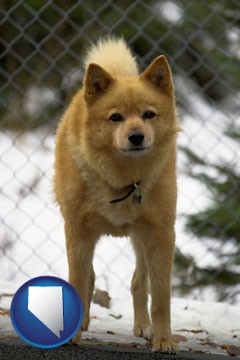 a Finnish Spitz dog in a kennel, with a blurred chain-link fence - with Nevada icon