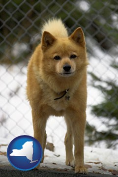 a Finnish Spitz dog in a kennel, with a blurred chain-link fence - with New York icon