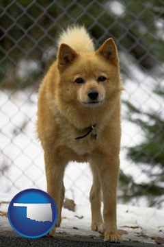 a Finnish Spitz dog in a kennel, with a blurred chain-link fence - with Oklahoma icon