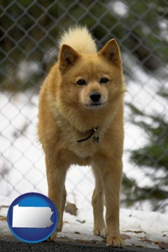 a Finnish Spitz dog in a kennel, with a blurred chain-link fence - with Pennsylvania icon