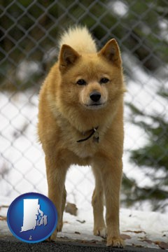 a Finnish Spitz dog in a kennel, with a blurred chain-link fence - with Rhode Island icon