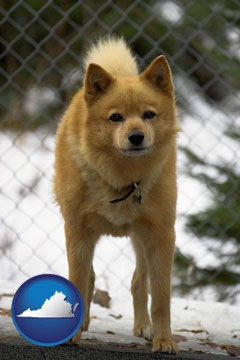 a Finnish Spitz dog in a kennel, with a blurred chain-link fence - with Virginia icon
