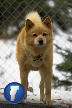 a Finnish Spitz dog in a kennel, with a blurred chain-link fence - with Vermont icon