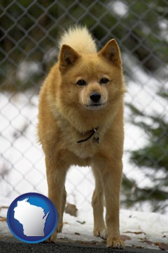 a Finnish Spitz dog in a kennel, with a blurred chain-link fence - with Wisconsin icon