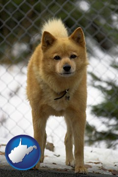 a Finnish Spitz dog in a kennel, with a blurred chain-link fence - with West Virginia icon